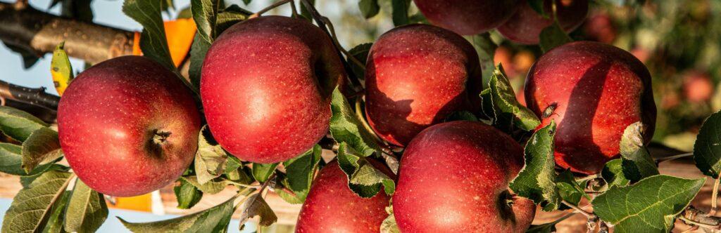 Apple wine base